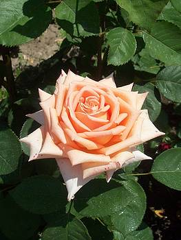 Rose 5 by Galina Todorova