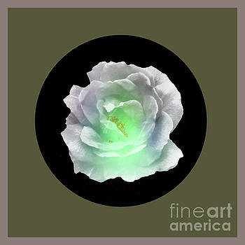 Rose 8-4 by John Krakora