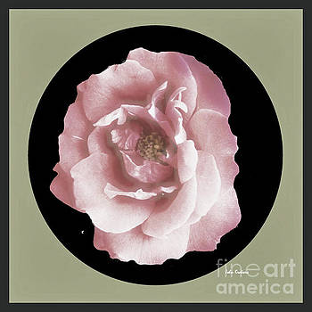 Rose 9-5 by John Krakora