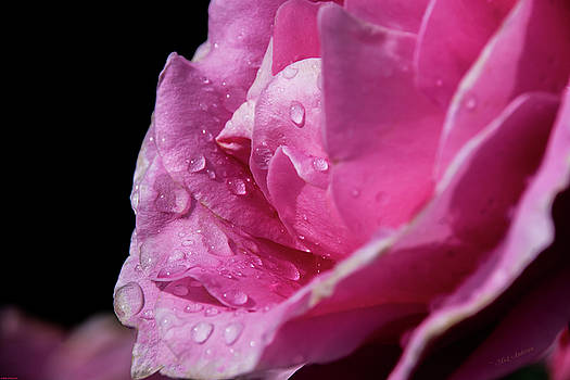 Rose After The Rain by Mick Anderson