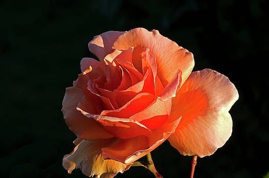 Rose at Sunset by Rob Mclean