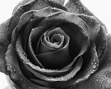 Rose - Black and White by Greg Thiemeyer