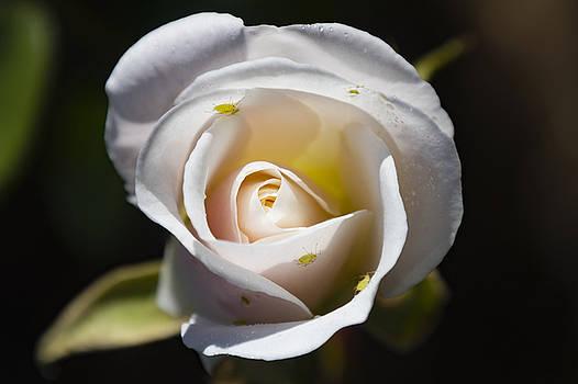 Rose Bugs by Dennis Reagan