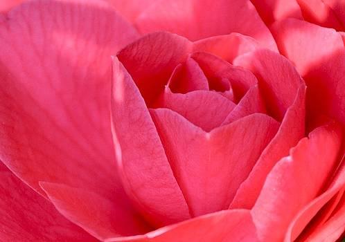 Rose Camellia by Lori Kesten