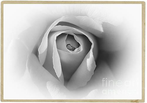 Rose - High Key by Stefano Senise