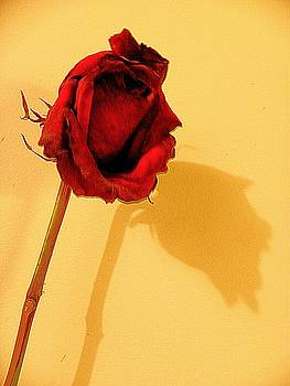 Rose Shadow by Zodiak Paredes