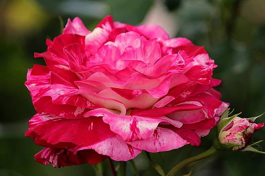 Rosanne Jordan - Rose Splendor