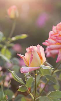 Rose under sunset by Jessica Nguyen