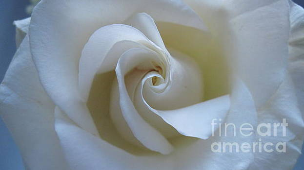 Rose-White by Donna Cavender