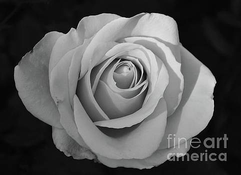 Rose without Color by Cindy Manero