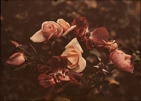 Roses of Yesteryear by Sarah Vernon