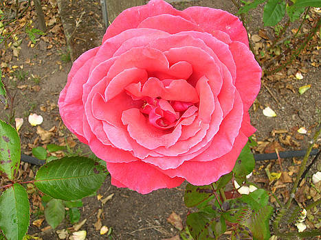 Rosy Rose by Carolyn Donnell