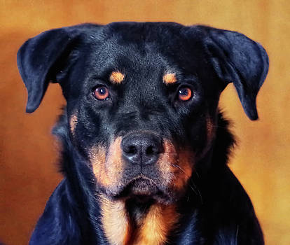 Rottie by Sarah Barber
