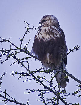 Rough legged hawk  by Rob Mclean