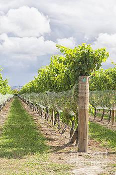 Patricia Hofmeester - Rows in vineyard