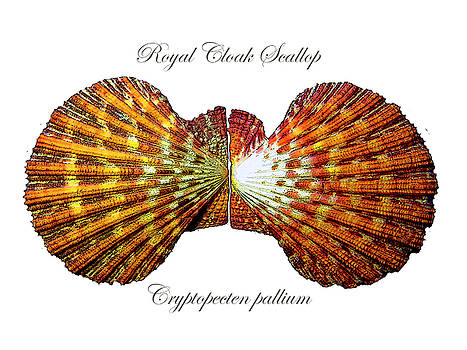 Frank Wilson - Royal Cloak Scallop Cryptopecten pallium