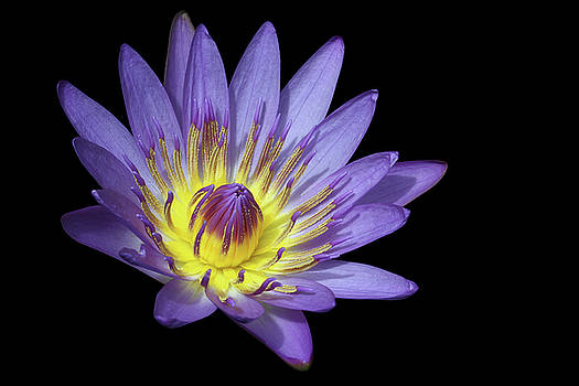 Royal Purple Water Lily #15 by Judy Whitton