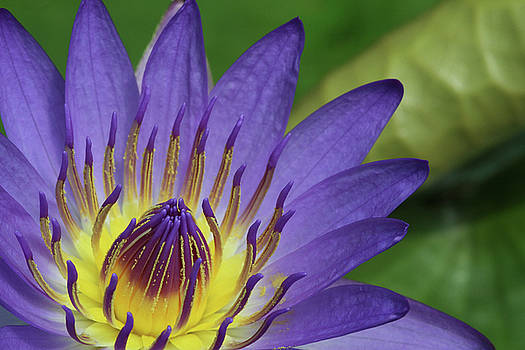 Royal Purple Water Lily #16 by Judy Whitton