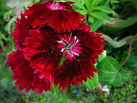 Joyce Dickens - Royal Red Sweet Williams
