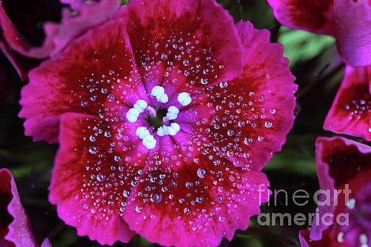 Ruby Red Sweet William Flower by Karen Adams