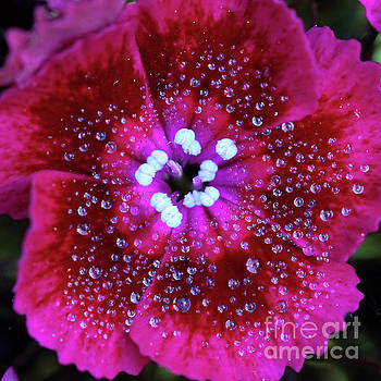 Ruby Red Sweet William Flower Square by Karen Adams