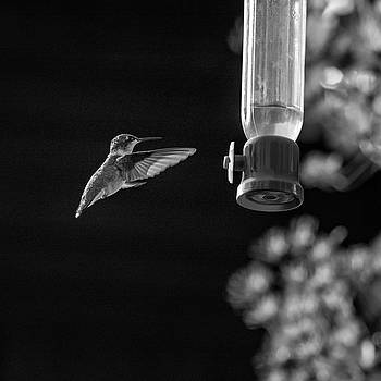Steve Harrington - Ruby-throated Hummingbird bw