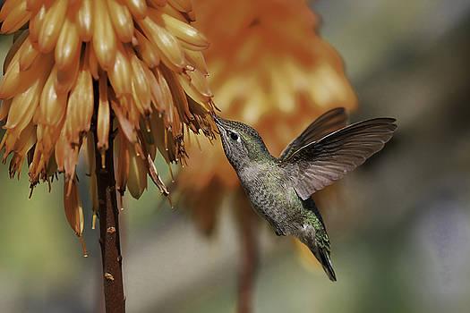 Ruby Throated Hummingbird by Koji Kanemoto