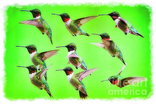 Dan Friend - Ruby-throated Hummingbird portraits