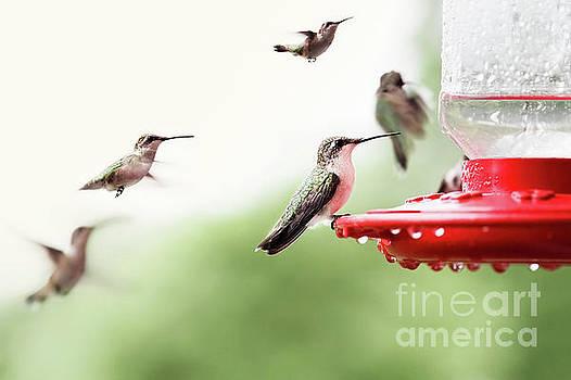 Ruby-Throated Hummingbirds by Stephanie Frey