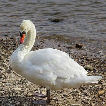 Teresa Mucha - Rudesheim Swan