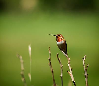 Mary Lee Dereske - Rufous Hummingbird in Meadow