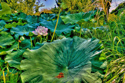 Sacred lotus and leaves composition by Geraldine Scull