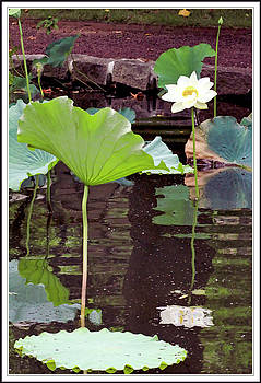 Sacred lotus flower and pad with reflection by Geraldine Scull