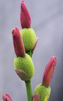 Saging-Saging flower buds macro by Kathy Daxon
