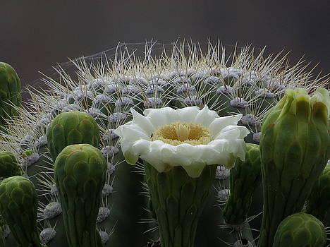 Saguaro Crown by Feva  Fotos