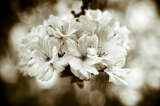 Sakura by Frank Tschakert