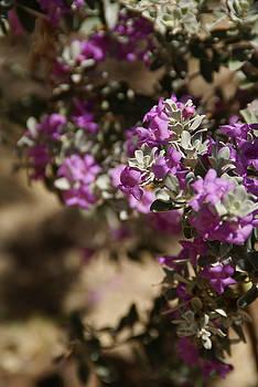 Linda Shafer - Salvia Dorrii