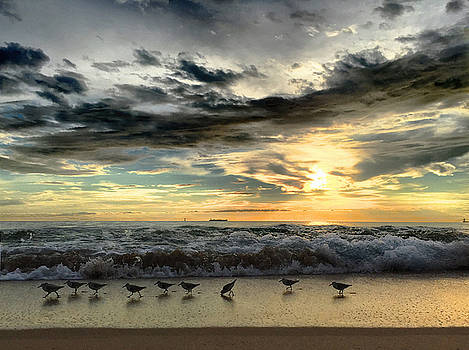 Sanderlings on the March by Andrew Royston