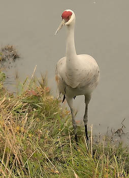 LAWRENCE CHRISTOPHER - SANDHILL CRANE AT REIFEL
