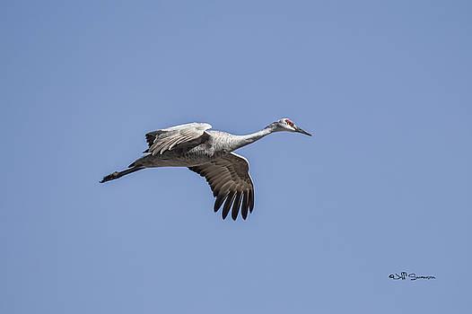 Sandhill Crane in Flight by Jeff Swanson