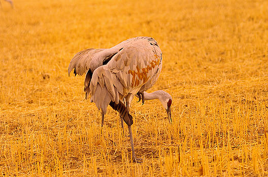 Sandhill cranes pecking the ground by Jeff Swan