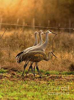 Sandhill Cranes Texas Fence-Line by Robert Frederick
