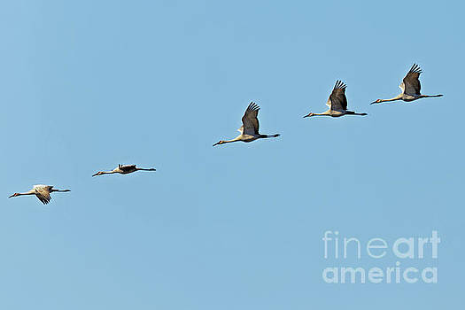 Sandhill Flight by Natural Focal Point Photography
