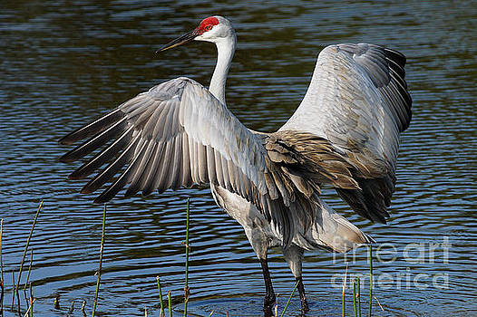 Sandhill Crane Wingstretch by Larry Nieland