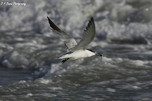 Barbara Bowen - Sandwhich Tern flies over stormy waves