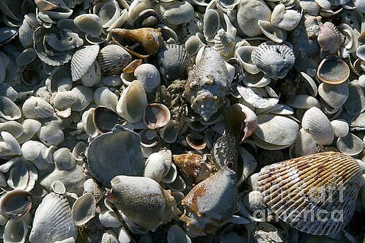 Sanibel Shells by Sandy Molinaro