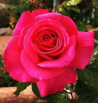 Santa Fe Rose by Joseph Frank Baraba