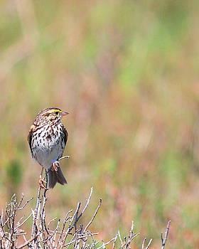 Wingsdomain Art and Photography - Savannah Sparrow . 40D5883
