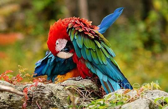 Scarlet Macaw by Elaine Manley
