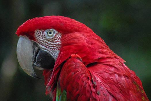 Scarlet Macaw by Fabio Giannini